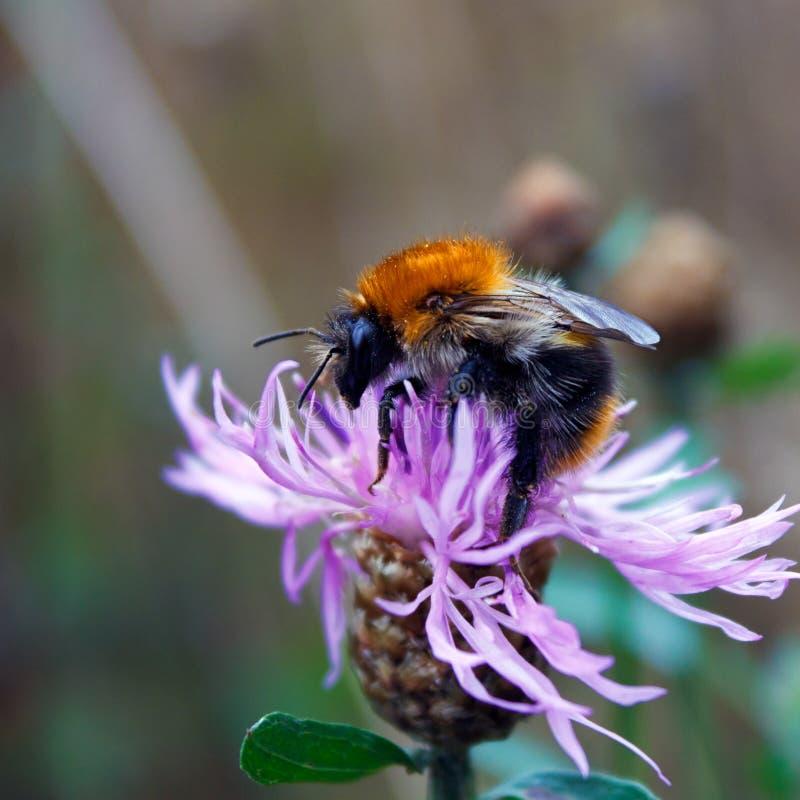 Hommel (hypnorum Bombus) op een bloem royalty-vrije stock afbeeldingen