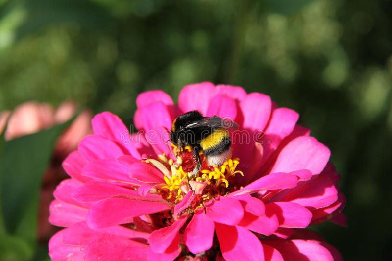 Hommel op een geurige bloem Macro stock afbeelding