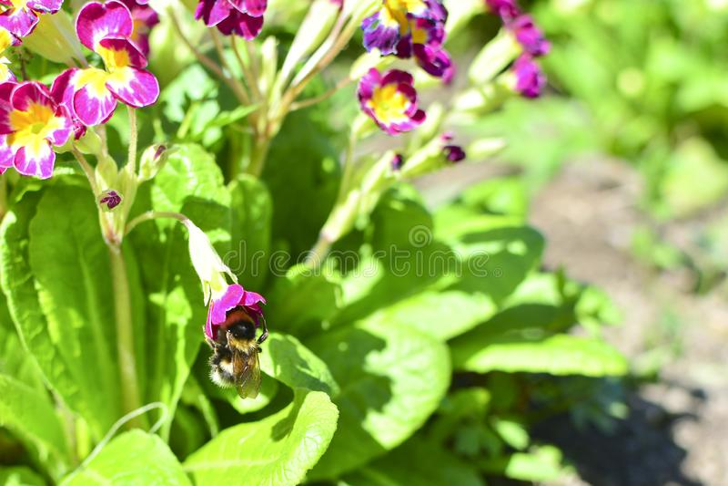 Hommel op een rode bloem onder Bloemen en groene bladeren Op bloemnectar Verzamel nectar stock foto
