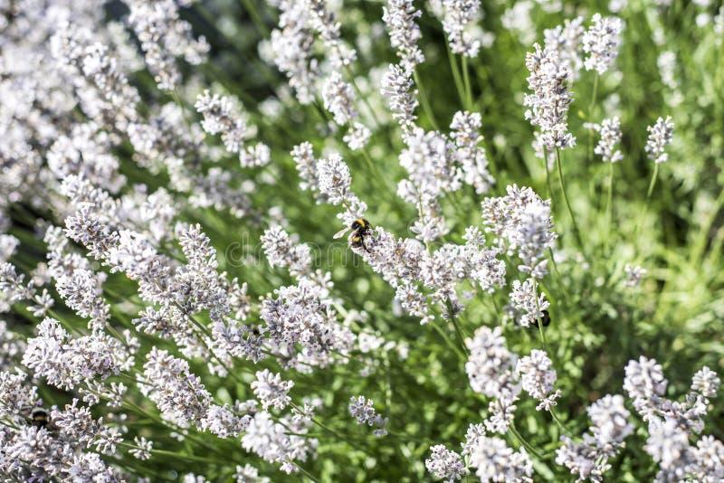 Hommels die stuifmeel van witte lavendelbloemen verzamelen op het Landschapsachtergrond van de tuinaard stock foto