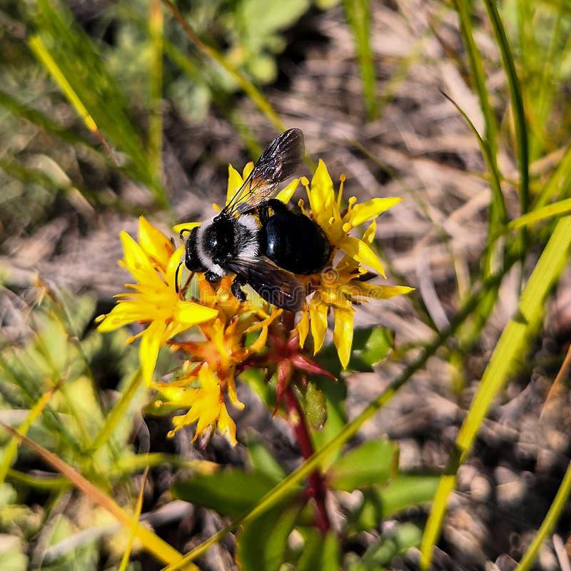Hommelzitting op een gele bloem de bugel van de bloemmuurpeper royalty-vrije stock afbeeldingen