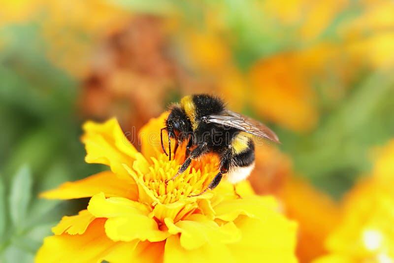 Hommelzitting op oranje bloem in de zomerdag royalty-vrije stock fotografie