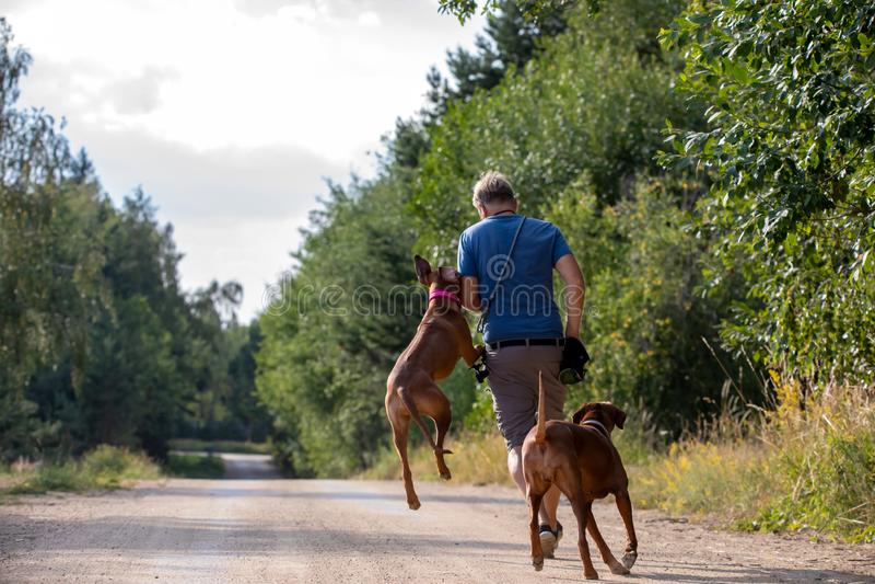Hommes avec deux ridgebacks rhodesian - AON de maman et de fille la route photos stock