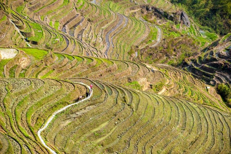 Hommes et mules dans des terrasses de riz dans Longsheng photo libre de droits