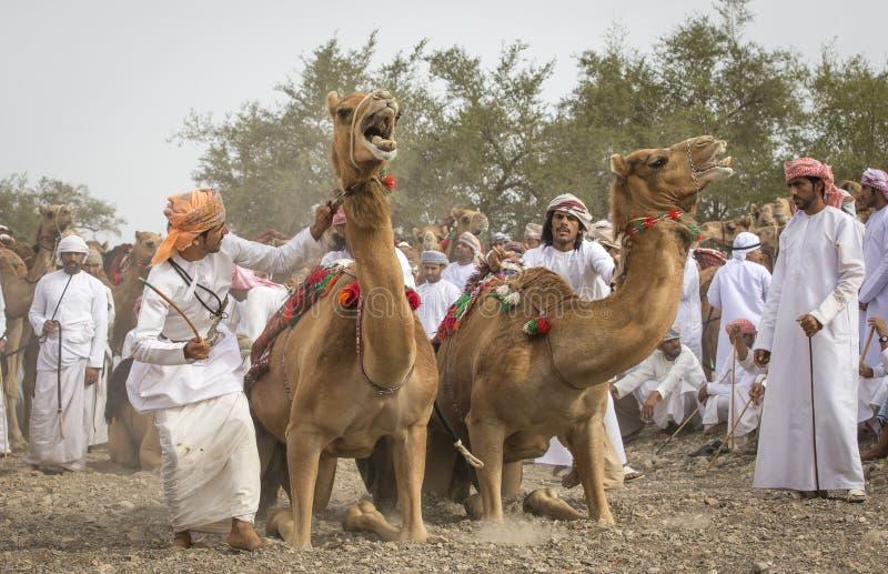 Hommes omanais étant prêts pour emballer leurs chameaux sur un pays poussiéreux photo libre de droits