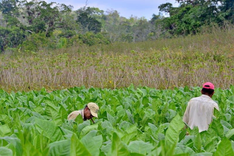 Hommes travaillant à la plantation de tabac du Cuba photographie stock libre de droits