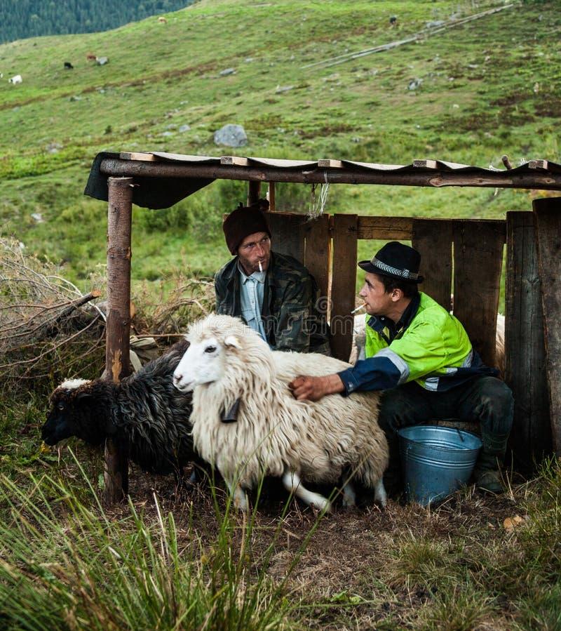 Hommes trayant des moutons à la ferme photos stock
