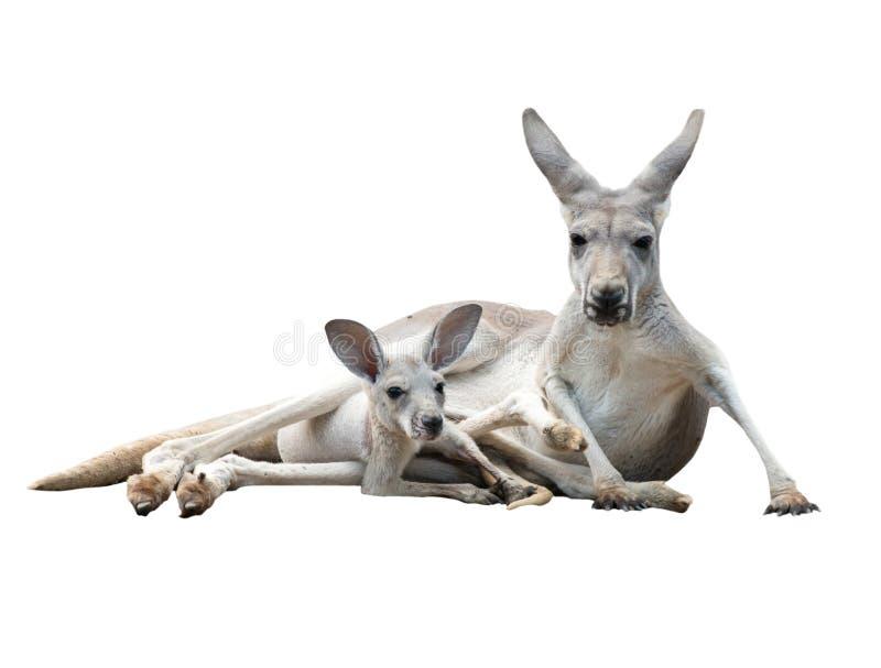 Homosexueller Känguru mit joey lizenzfreie stockfotos
