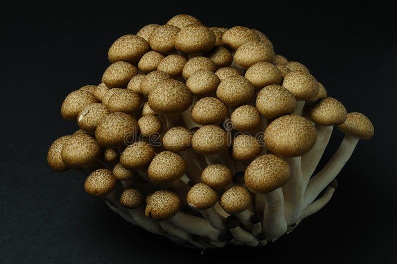 Hon-Shimeji (bruine beuk) paddestoelen stock afbeeldingen