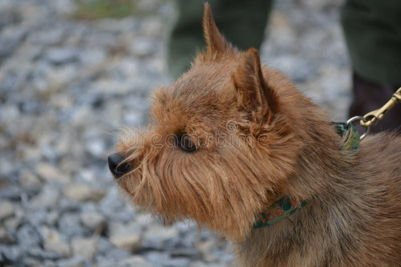 Hond één van Norwich Terrier van de kleinste het werk terriër royalty-vrije stock afbeeldingen