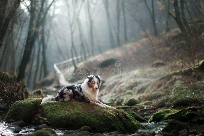Hond in aard in de ochtend Australische herder bij zonsopgang dichtbij het water Huisdier voor een gang stock fotografie