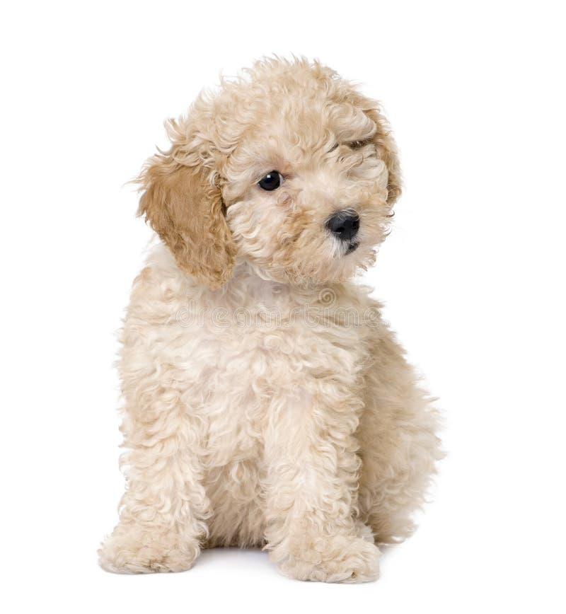 Hond: abrikozen stuk speelgoed het puppy van de Poedel (10 weken oud) royalty-vrije stock afbeelding