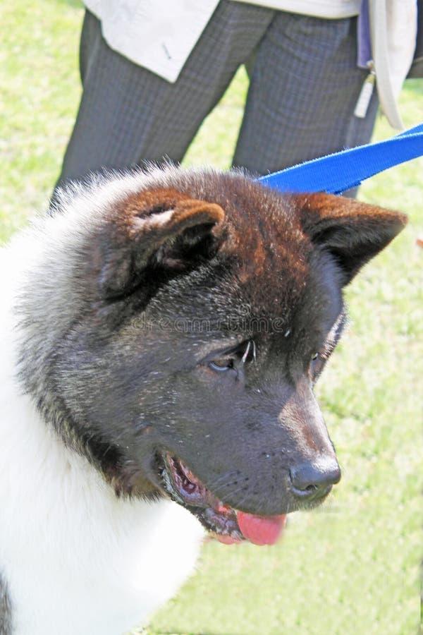 Hond Akita royalty-vrije stock foto's