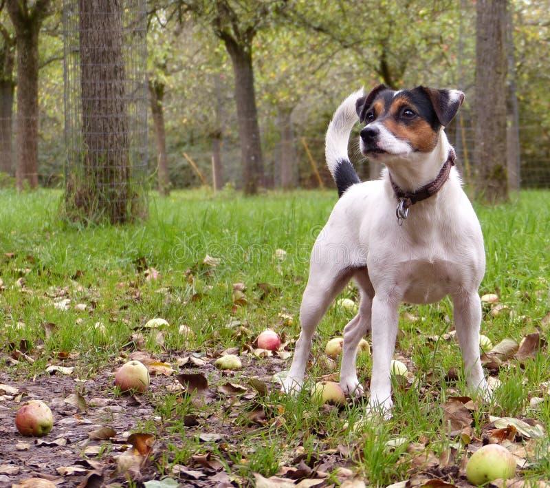 Hond in appelboomgaard royalty-vrije stock foto