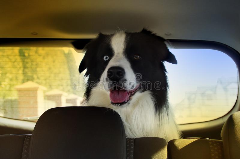 Hond in auto die op reis wachten royalty-vrije stock fotografie