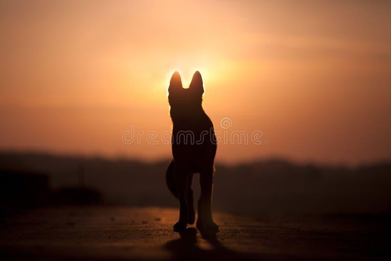 Hond backlight silhouet in zonsondergang stock afbeelding
