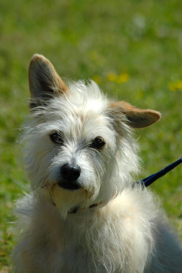 Hond: Bastaard royalty-vrije stock afbeelding