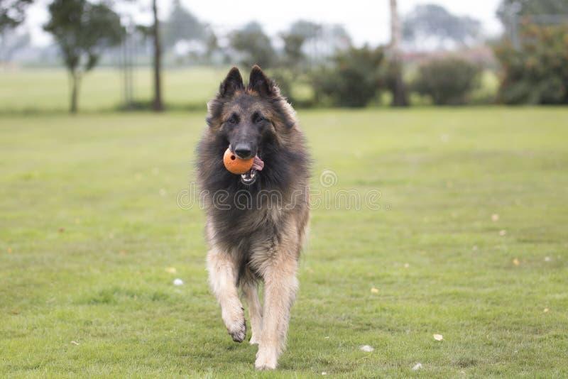 Hond, Belgische Herder die Tervuren, met oranje bal lopen stock foto's
