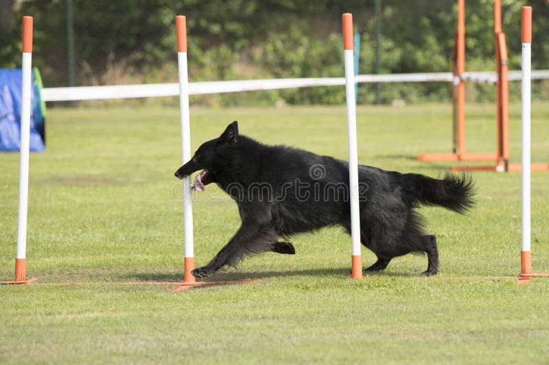 Hond, Belgische Herder Groenendael, de behendigheid van weefselpolen stock afbeelding