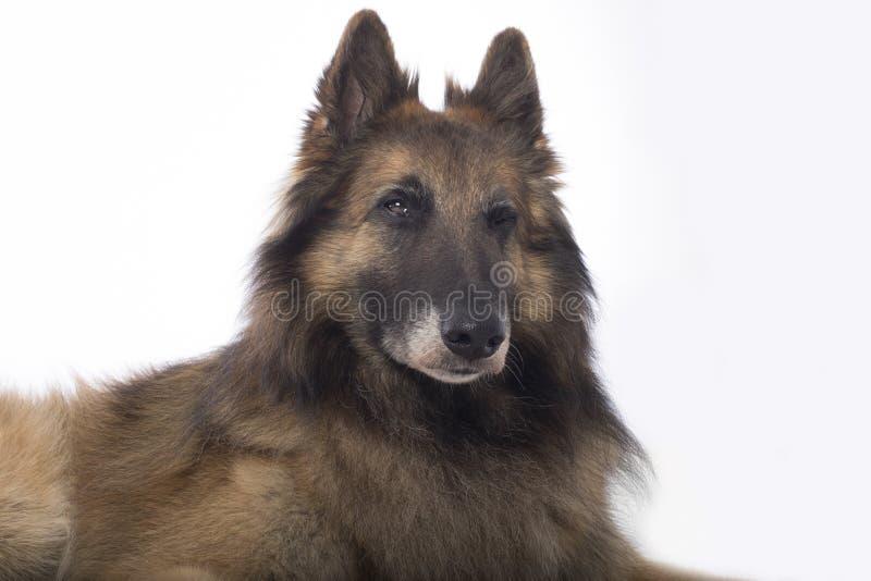 Hond, Belgische Herder Tervuren, het knipogen, witte studioachtergrond stock foto's