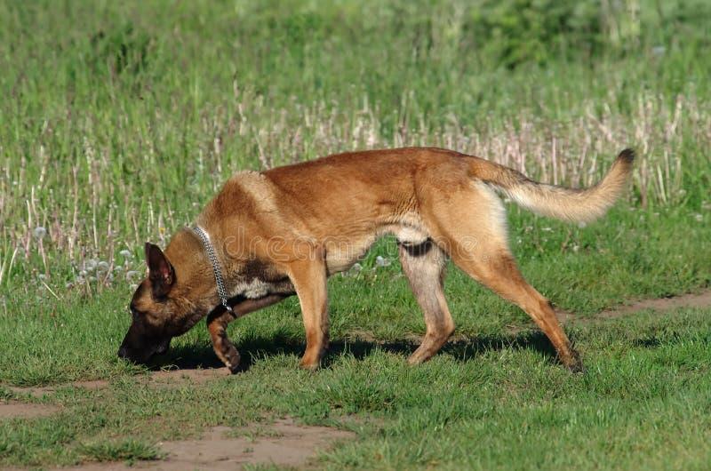 Hond - Belgische Malinois stock afbeelding