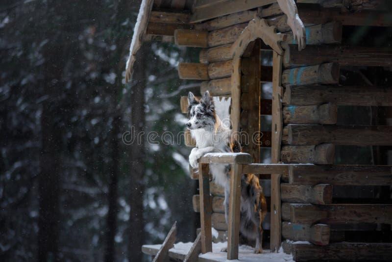 Hond bij blokhuis in bos Marmeren border collie in aard Gang met uw huisdier in de winter stock afbeeldingen