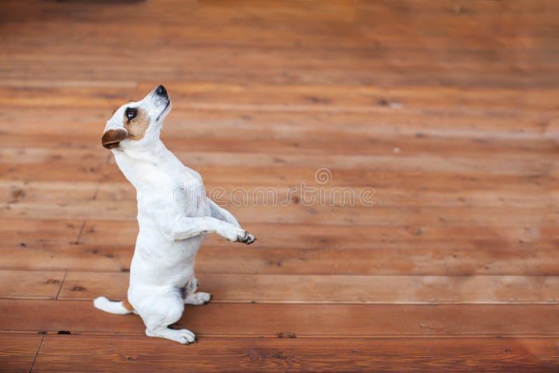 Hond bij op houten vloer royalty-vrije stock afbeelding