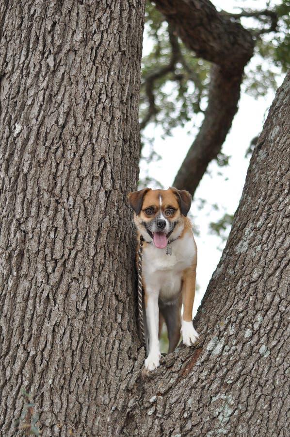 Hond in Boom stock afbeeldingen