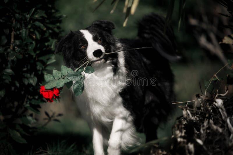 Hond border collie die een rood de houden nam bloem toe stock foto