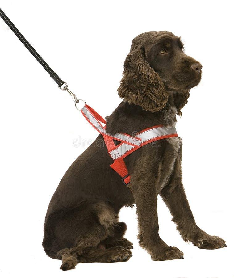 Hond bruin met reflexuitrusting royalty-vrije stock fotografie