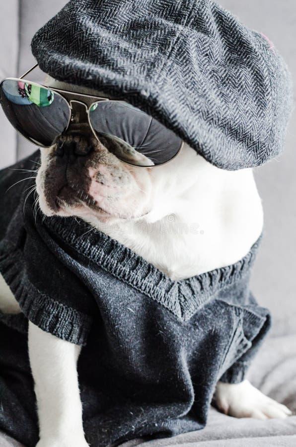 Hond, buldog met GLB, kleding, en glazen stock foto