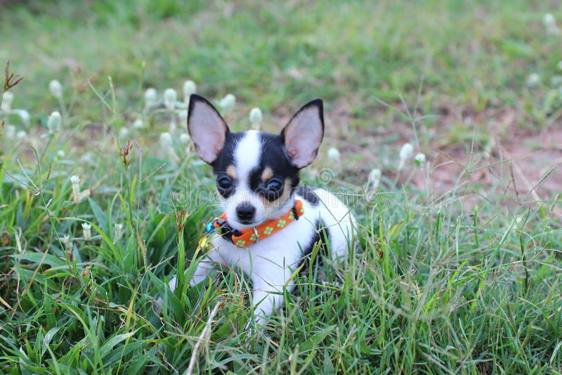 Hond Chihuahua stock afbeelding