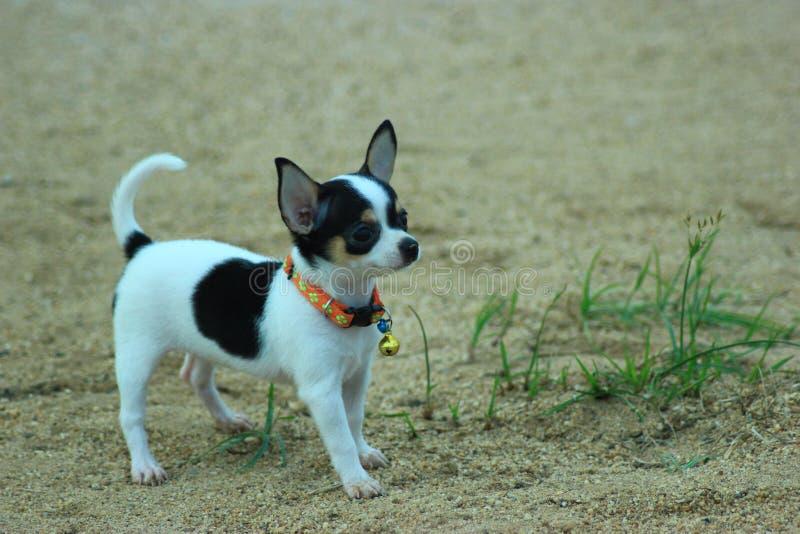Hond Chihuahua stock foto's
