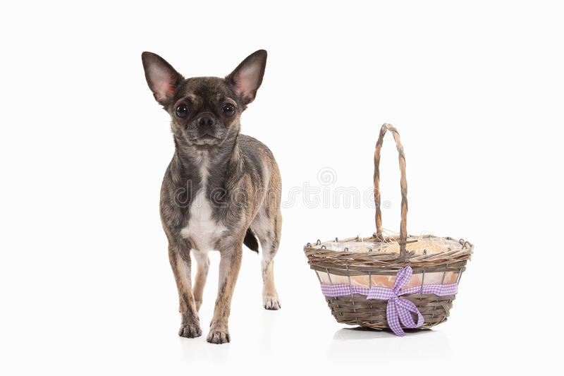 Hond Chihuahuapuppy op wit stock afbeelding