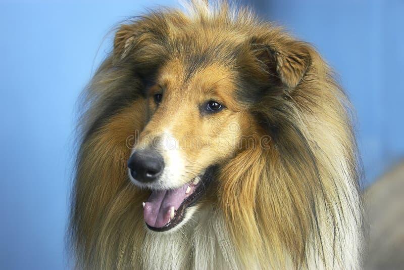 Download Hond - collie stock afbeelding. Afbeelding bestaande uit schouder - 281879
