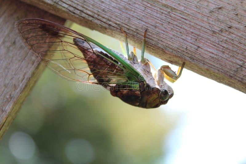 Hond-dag cicade stock foto