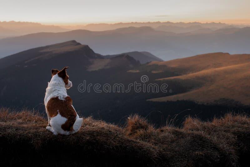 Hond in de bergen kleine vijzel - russell op de achtergrond van rotsen bij zonsondergang Wandelend met een huisdier royalty-vrije stock fotografie