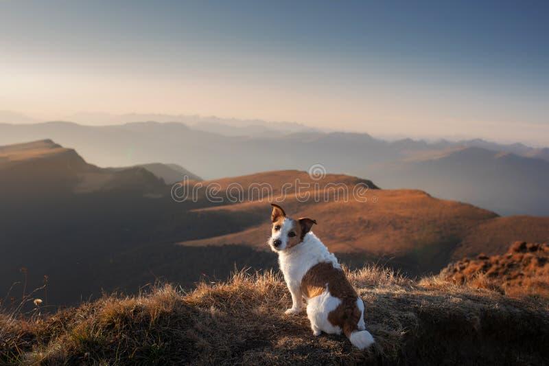 Hond in de bergen kleine vijzel - russell op de achtergrond van rotsen bij zonsondergang Wandelend met een huisdier stock foto