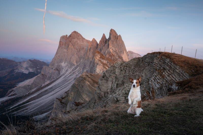 Hond in de bergen kleine vijzel - russell op de achtergrond van rotsen bij zonsondergang Wandelend met een huisdier royalty-vrije stock foto's