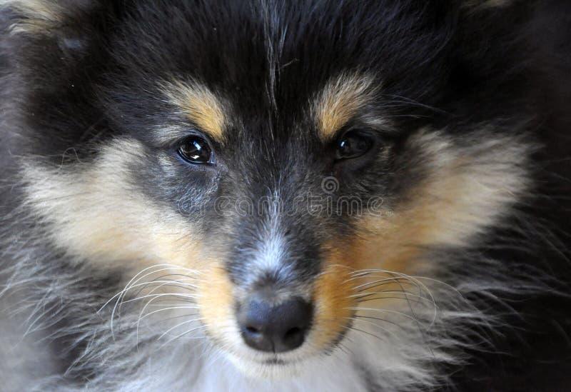 Hond - de Herdershond van Shetland stock afbeeldingen