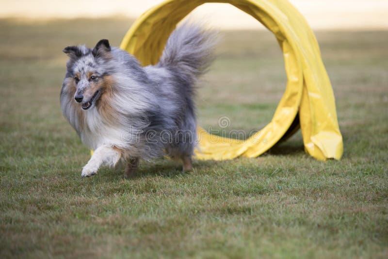 Hond, de Herdershond van Shetland, Sheltie, behendigheid royalty-vrije stock fotografie