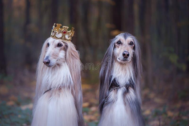 Hond in de kroon, Afghaanse honden royalty-vrije stock foto