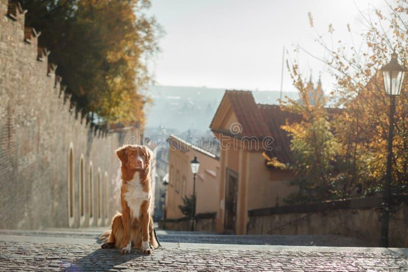 Hond in de oude stad, reis Nova Scotia Duck Tolling Retriever die uit stad kijken stock fotografie