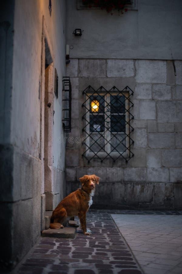 Hond in de oude stad, reis Nova Scotia Duck Tolling Retriever die uit stad kijken royalty-vrije stock foto's