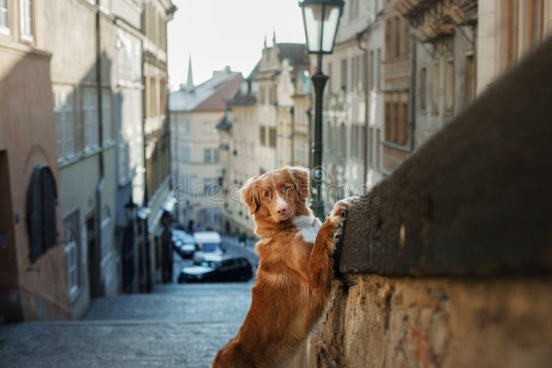 Hond in de oude stad, reis Nova Scotia Duck Tolling Retriever die uit stad kijken royalty-vrije stock foto