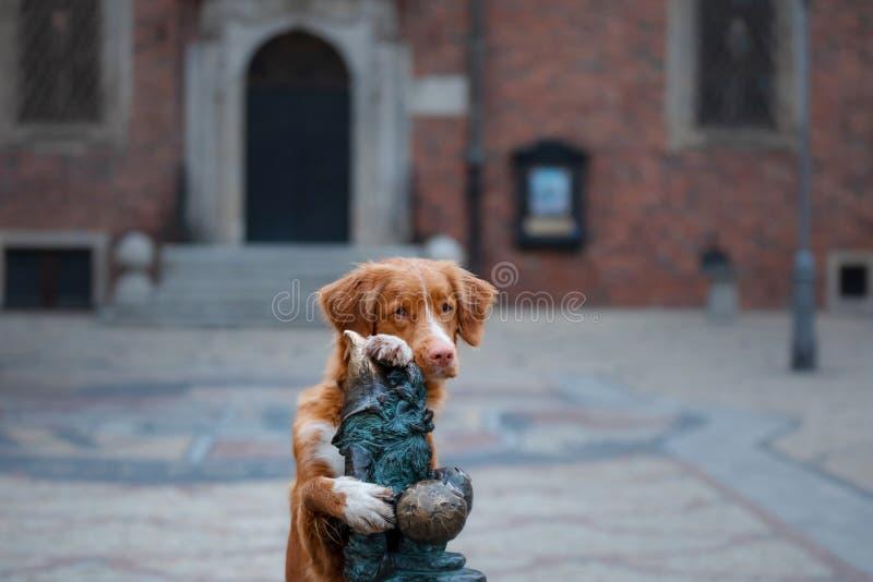 Hond in de oude stad, reis Nova Scotia Duck Tolling Retriever die uit stad kijken stock foto's
