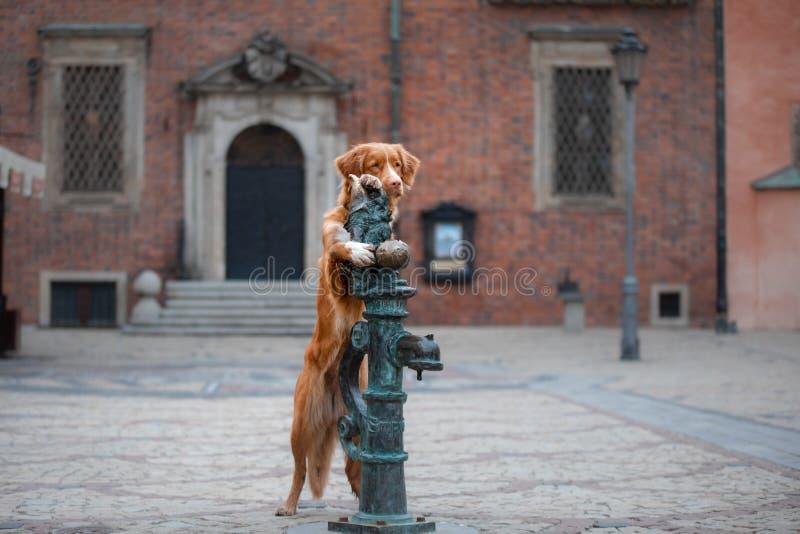 Hond in de oude stad, reis Nova Scotia Duck Tolling Retriever die uit stad kijken stock afbeeldingen