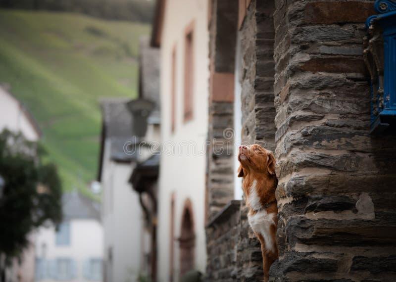 Hond in de oude stad, reis Nova Scotia Duck Tolling Retriever die uit stad kijken stock foto