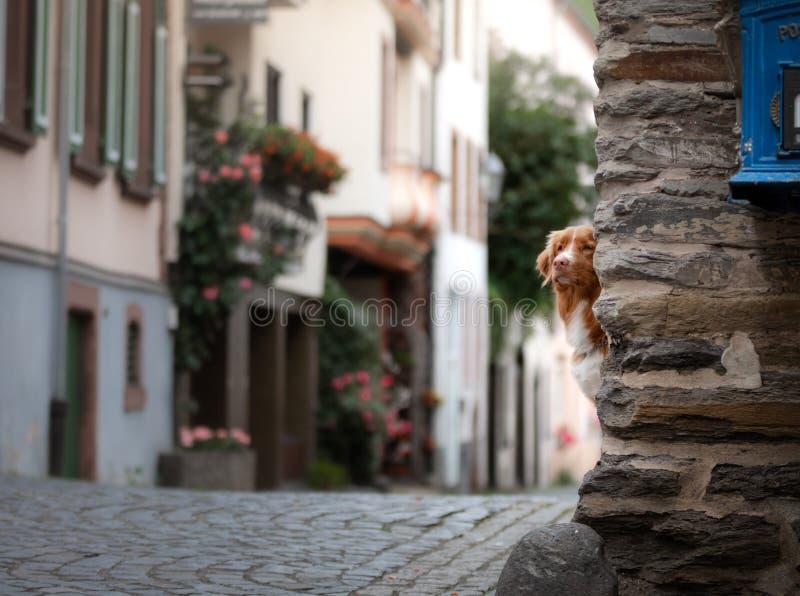 Hond in de oude stad, reis Nova Scotia Duck Tolling Retriever die uit stad kijken stock afbeelding