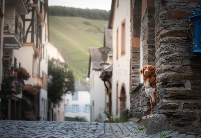 Hond in de oude stad, reis Nova Scotia Duck Tolling Retriever die uit stad kijken royalty-vrije stock fotografie